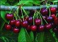 Черешня Prunus avium Plena  200 – 220