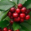 Черешня Prunus avium Plena  80 – 100