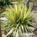 Юкка Yucca filamentosa Golden Sword    40 – 60