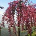 Яблоня Malus Royal Beauty  140 – 160
