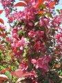 Яблоня Malus Royalty  60 – 80