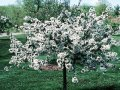 Яблоня Malus toringo Tina  50 – 60