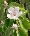Айва Cydonia oblonga рост 60 – 80