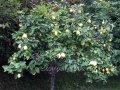 Айва Cydonia oblongaf.pyriformis рост 80 – 100