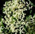 Бузина  Sambucus nigra Sampo  рост 60 – 80