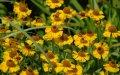 Гелениум  Helenium Wesergold    рост 40 – 60