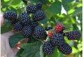 Ежевика Rubus fruticosus Polar  рост 60 – 80