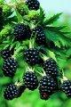 Rubus idaeus Laszka PBR blackberry growth 60 – 80