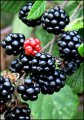 Ежевика Rubus idaeus Pokusa PBR рост 60 – 80