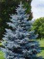 Ель Колючая  Picea pungens Glauca Globosa  рост 80 – 100