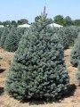 Ель Колючая  Picea pungens Glauca Pendula  рост 20 – 30