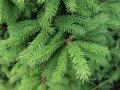 Ель Обыкновенная  Picea abies Virgata  рост 100 – 120
