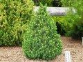 Ель Сербская  Picea omorika Nana  рост 20 – 30