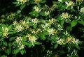 Жимолость Lonicera ×brownii Dropmore Scarlet  рост 90