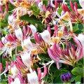 Жимолость Lonicera ×brownii Fuchsioides  рост 90