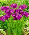 Iris Siberian Iris sibirica Contrast in Styles growth 40 – 60