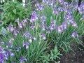 Ирис Сибирский  Iris sibirica Dance Ballerina Dance  рост 40 – 60