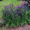 Ирис Сибирский  Iris sibirica Double Standard  рост 40 – 60