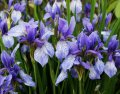 Ирис Сибирский  Iris sibirica Ruffled Velvet  рост 40 – 60