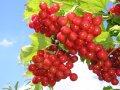 Калина  Viburnum opulus Krasnaja Grozd    рост 60 – 80