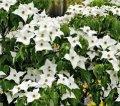 Кизил канадский  Cornus canadensis рост 15 – 20