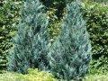 Кипарисовик Лавсона  Chamaecyparis lawsoniana Imbricata Pendula    рост 120 – 140
