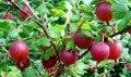 Крыжовник Ribes uva-crispa Hinnonmaki Rot    рост 40 – 60