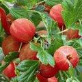 Крыжовник Ribes uva-crispa Invicta  рост 40 – 60