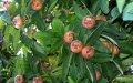 Мишмула Mespilus germanica Bredase Reus  рост 160 – 180