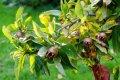 Mishmula Mespilus germanica Macrocarpa growth 140 – 160