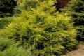 Можжевельник Пфитзера  Juniperus ×pfitzeriana Mint Julep  рост 30 – 40