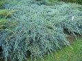 Rocky Mountain juniper Juniperus scopulorum Blue Arrow growth 60 – 80