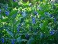 Окопник Крупный  Symphytum grandiflorum Goldsmith  рост 40 – 60