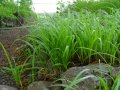 Sedge of Carex oshimensis Evergold growth 15 – 20