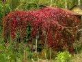 Partenotsissus Parthenocissus quinquefolia growth 90