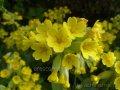 Первоцвет Розовый  Primula rosea Grandiflora    рост 15 – 20
