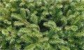 Пихта Высокорослая  Abies procera Glauca  рост 20 – 30