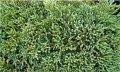 Пихта Высокорослая  Abies procera Sherwoodii    рост 20 – 30