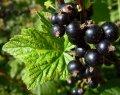 Смородина Ribes nigrum Ben Sarek  рост 60 – 80