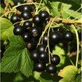 Смородина Ribes nigrum Titania    рост 60 – 80