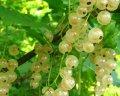 Смородина Ribes niveumBIAŁA WERSALSKA  Versailles Blanche    рост 60 – 80
