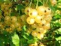 Смородина Ribes niveumBIAŁA Z JÜTEBORG  Weisse aus Jüteborg    рост 60 – 80