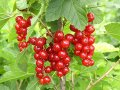 Смородина Ribes rubrum Jonkheer van Tets    рост 60 – 80