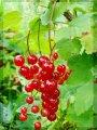 Смородина Ribes rubrum Rondom  рост 60 – 80