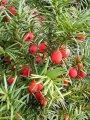 Тис Ягодный  Taxus baccata Summergold  рост 40 – 60