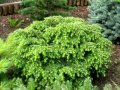 Canadian Hemlock Tsuga canadensis Cole s Prostrate growth 30 – 40