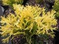 Туевик Долотовидный  Thujopsis dolabrata Solar Flare    рост 20 – 30