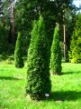 Thuja Western Thuja occidentalis Brabant growth 140 – 160