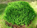 Туя Западная  Thuja occidentalis Selena  рост 60 – 80