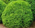 Туя Западная  Thuja occidentalis Smaragd  рост 60 – 80